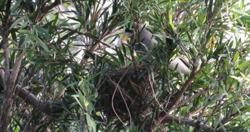 Noisy Miner feeding chicks in the nest