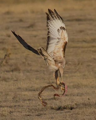 Red-tailed_Hawk_Grabs_Breakfast_(7537056