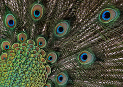 These tail feathers, or coverts, spread out in a distinctive train that is more than 60 percent of t