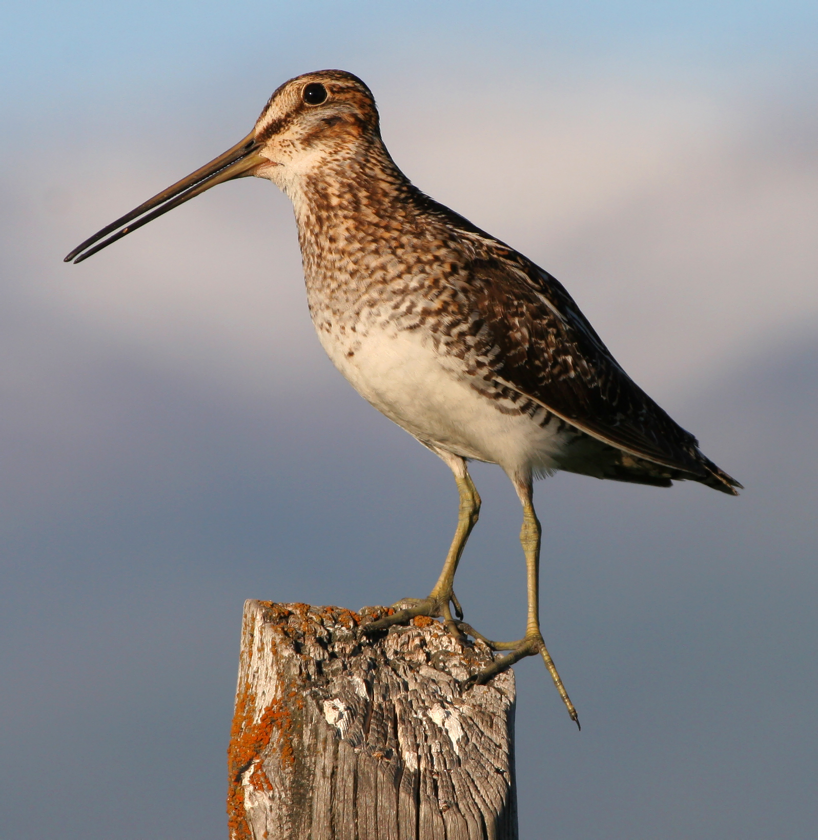 Wilson's Snipe perched on a fencepost near Wales, Central Utah.