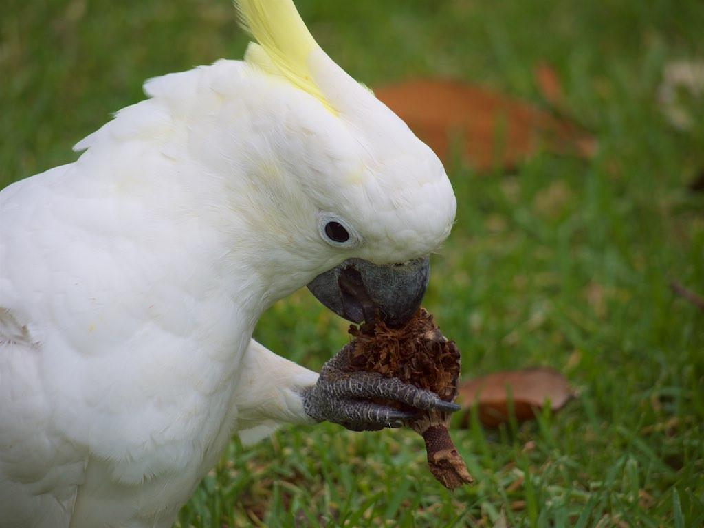 Sulphur-crested Cockatoo feeding