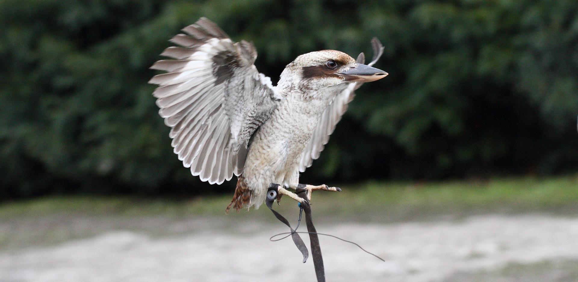 Kookaburra in a flying display