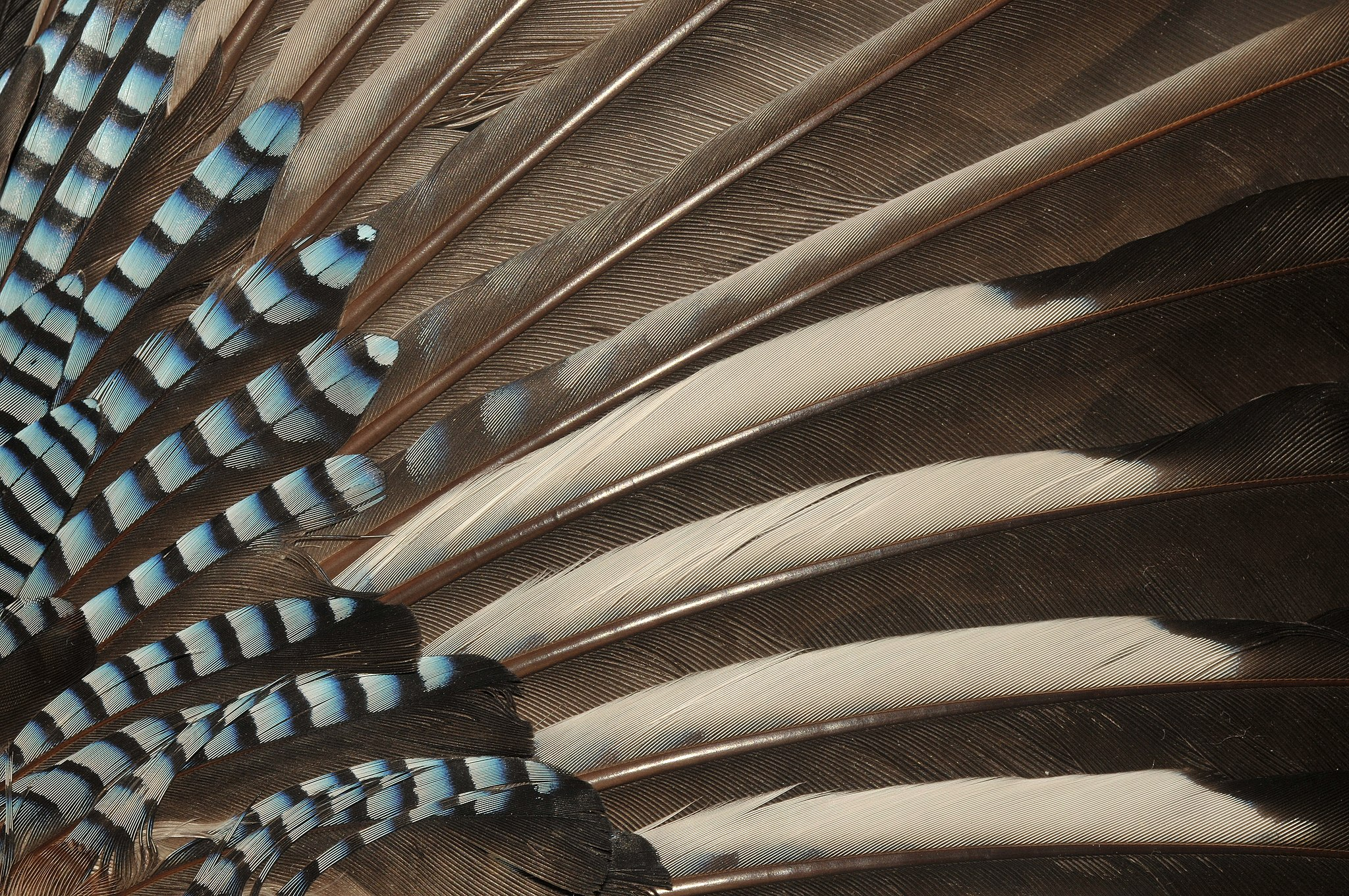 Pennaceous feathers by the Eurasian jay in Hanover, Germany.
