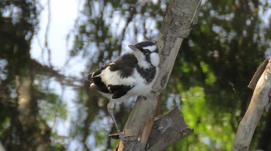 Recently fledged juvenile Magpie-lark