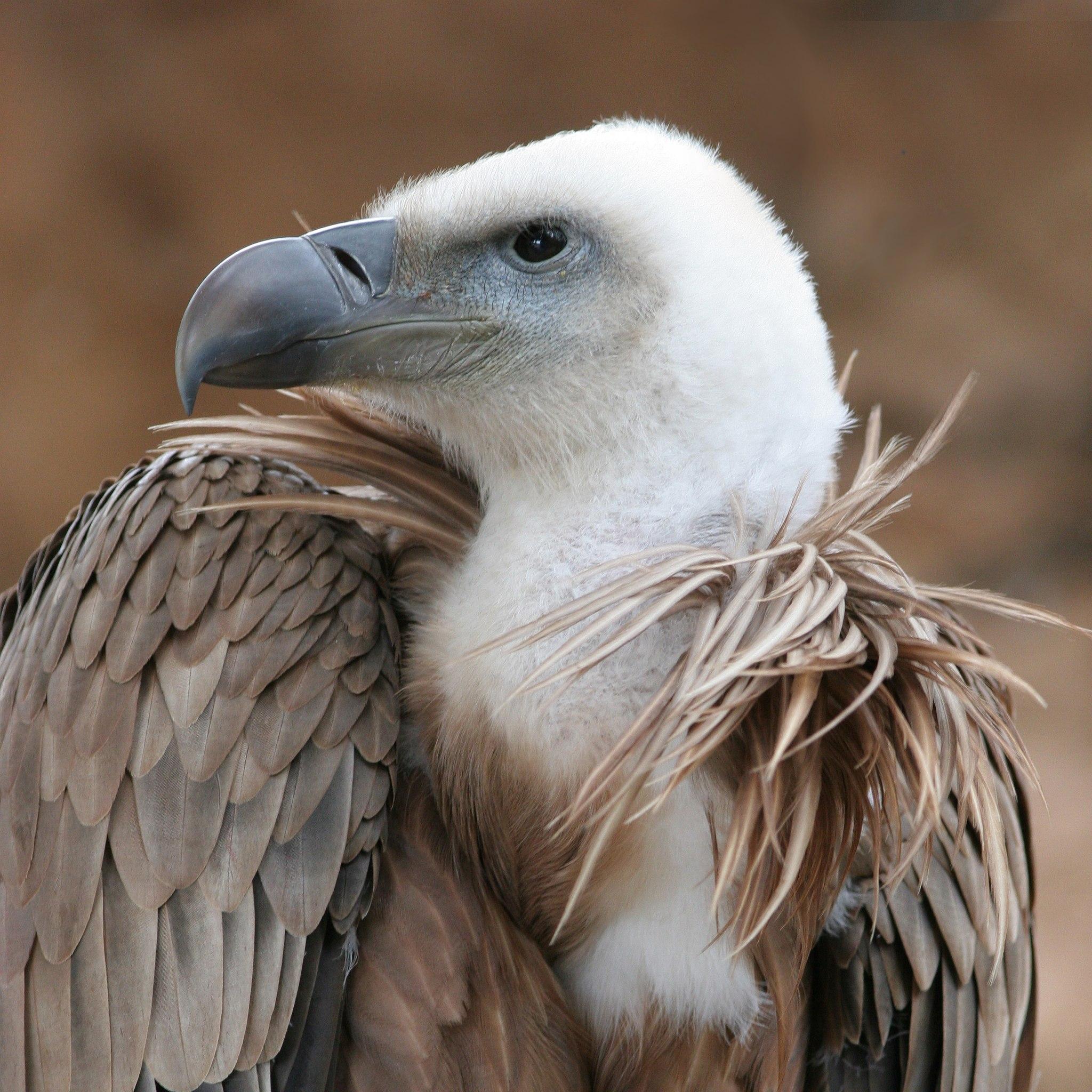 Picture showing a Griffon Vulture (Gyps fulvus) beak.