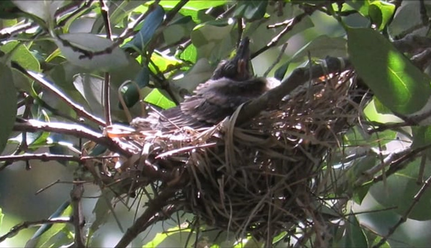 Australasian Figbird chick in the nest