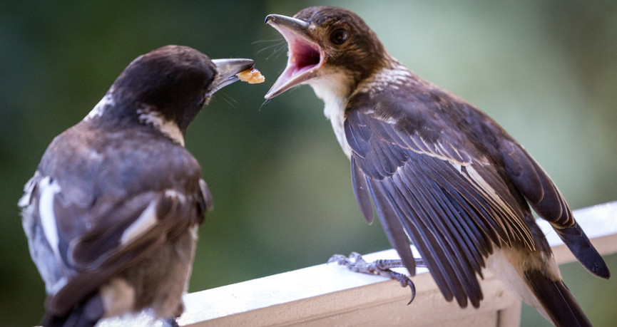Fledgling being fed