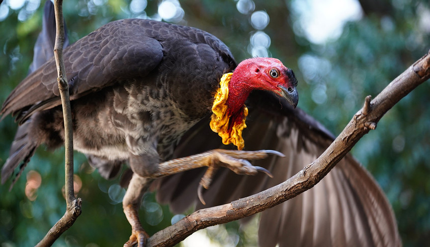 Adult male Australian Brush-turkey in tree