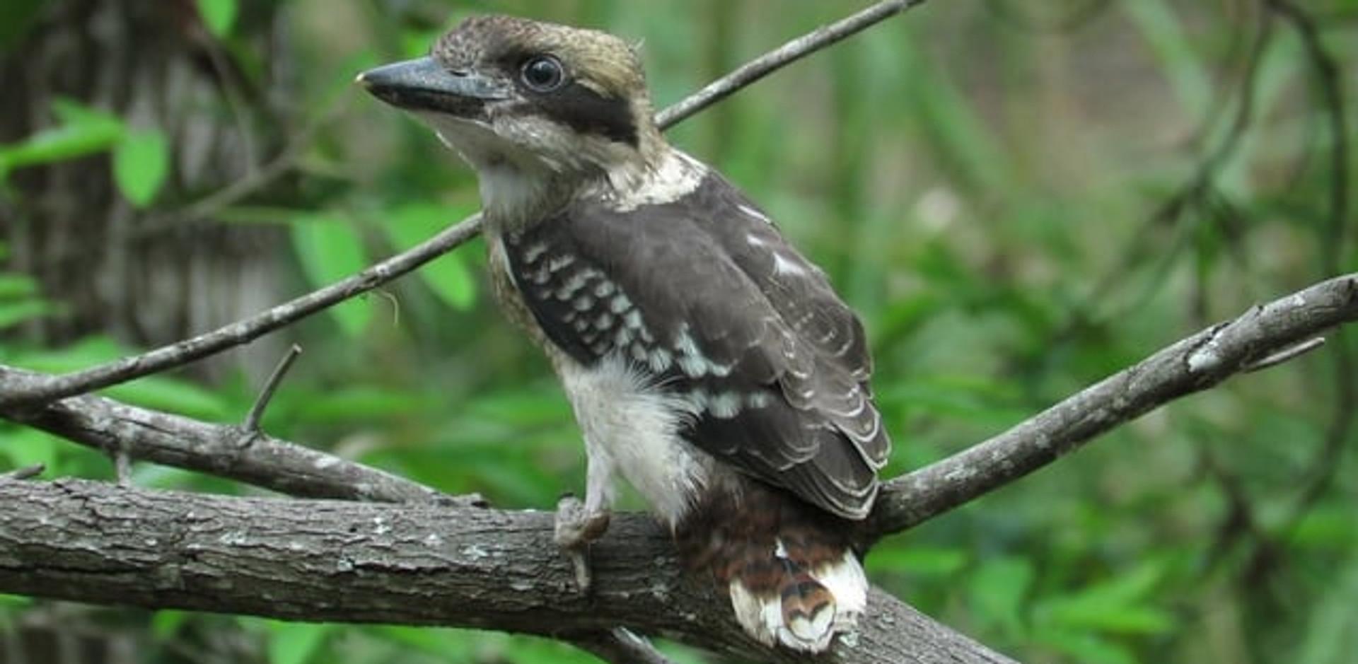 Juvenile Laughing Kookaburra