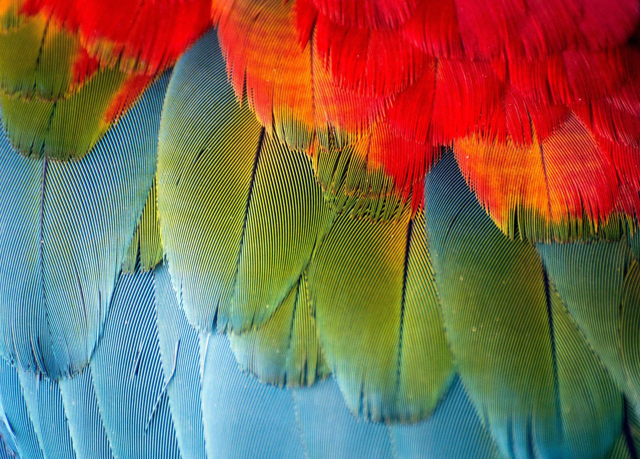 A macro shot of a Macaw's feathers.