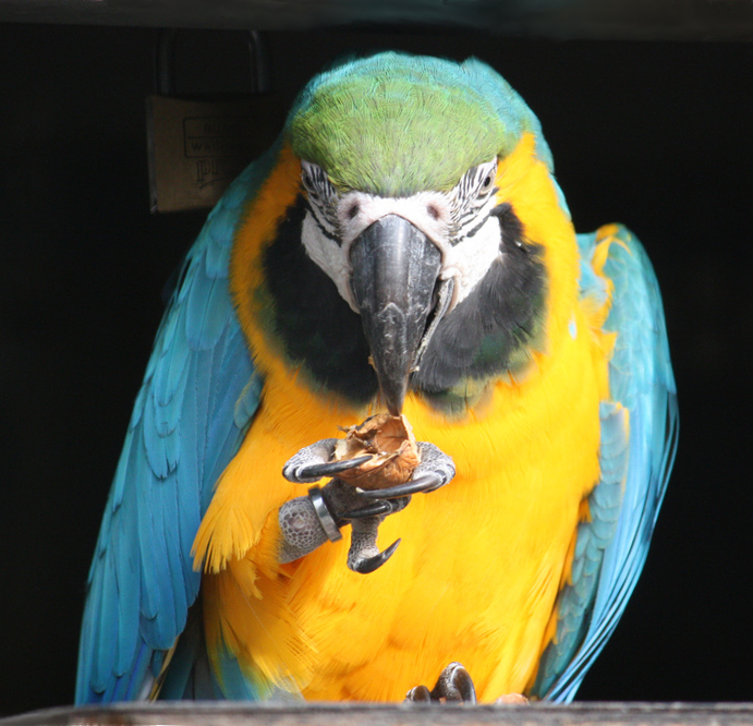 Blue-and-yellow Macaw, also known as the Blue-and-gold Macaw. The macaw is eating a walnut.