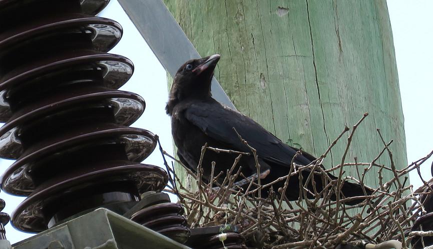 Juvenile Torresian Crow in nest