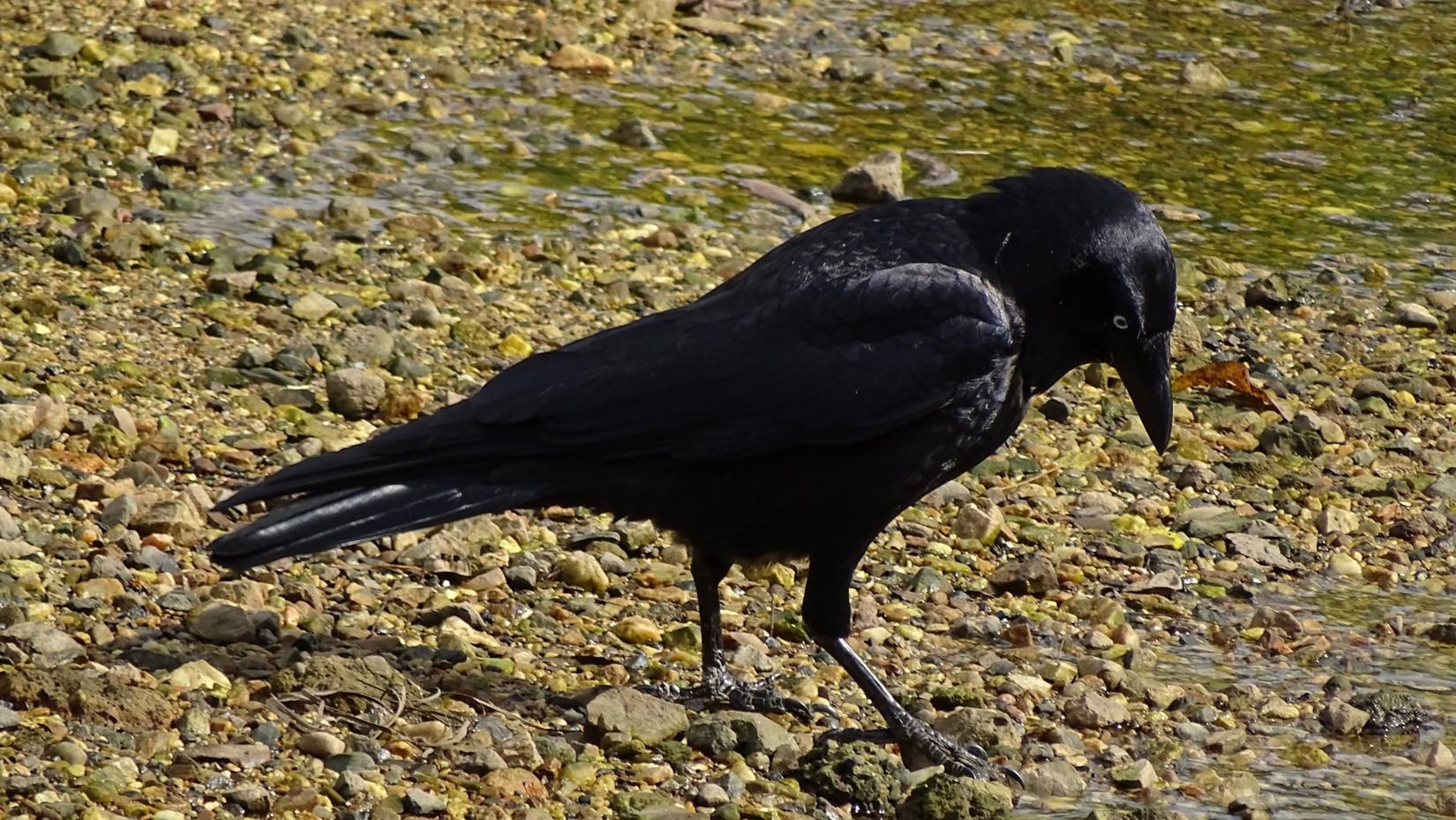 Adult Torresian Crow