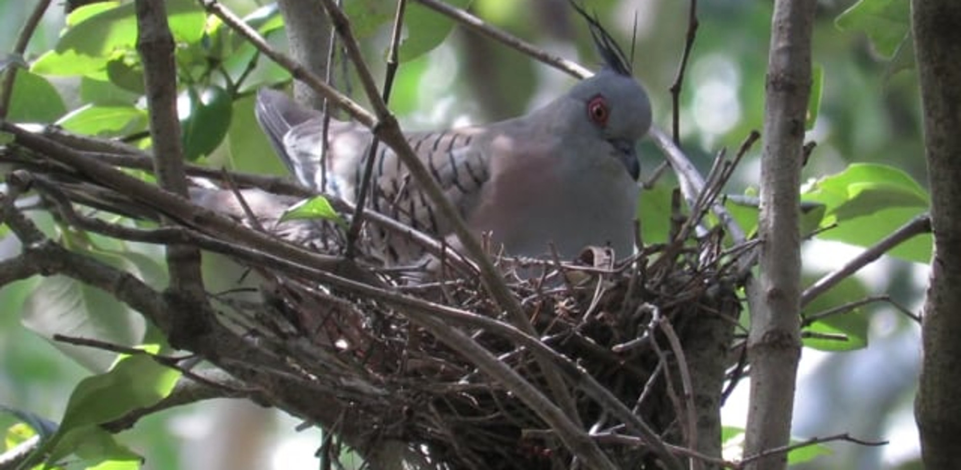 Adult Crested Pigeon on the nest