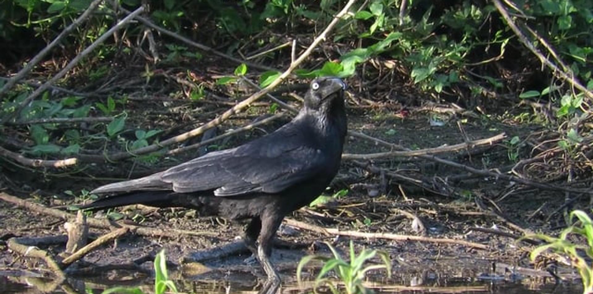 Adult Torresian Crow drinking water