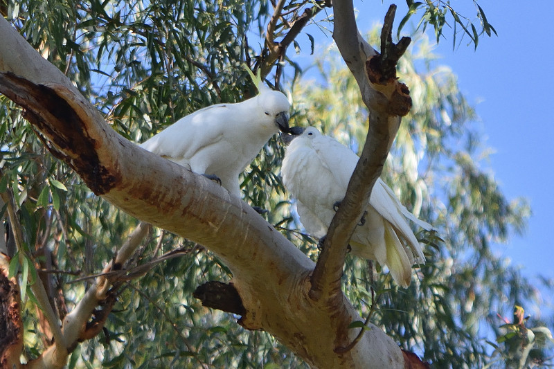 A pair of Sulphur-crested Cockatoos