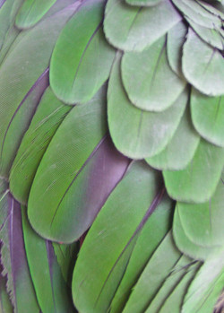 Shoulder feather detail on an Amazon parrot
