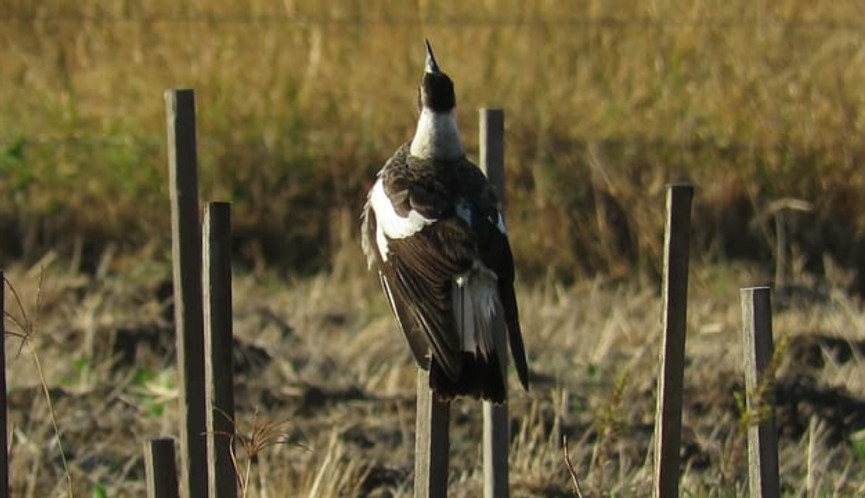 Adult Australian Magpie singing