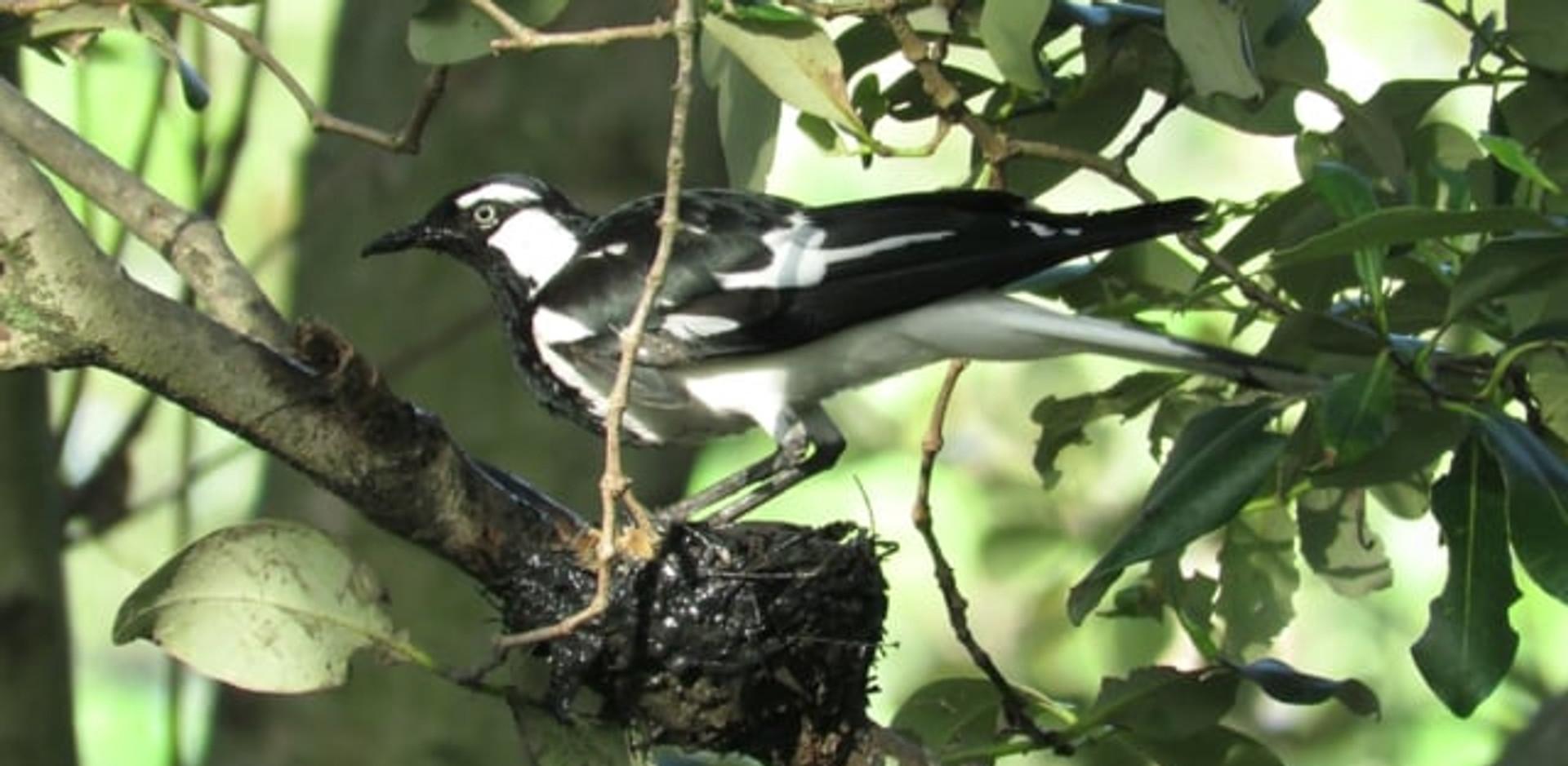 Magpie-lark building nest