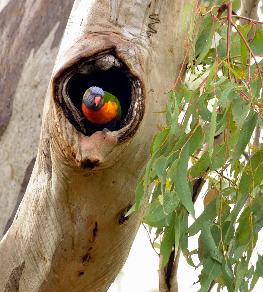 Trichoglossus moluccanus at_nest,_Brisbane, Queensland, Australia