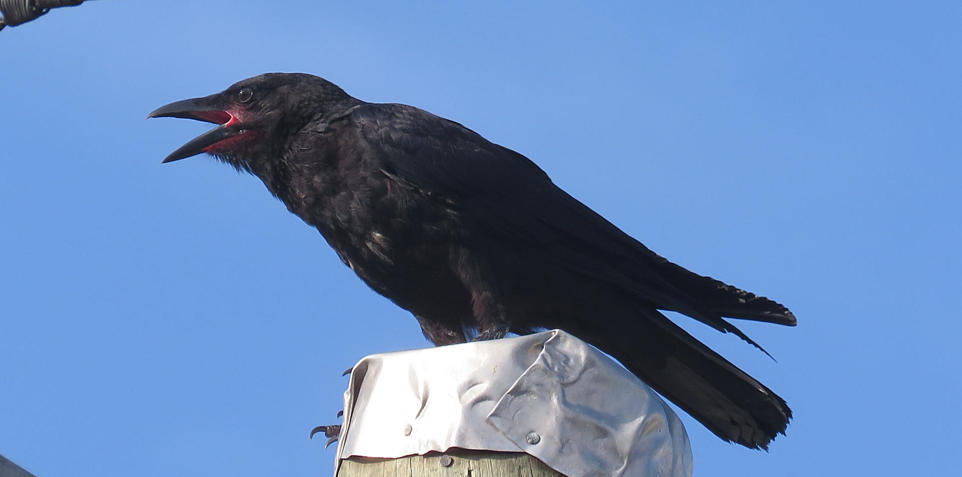 Juvenile Torresian Crow