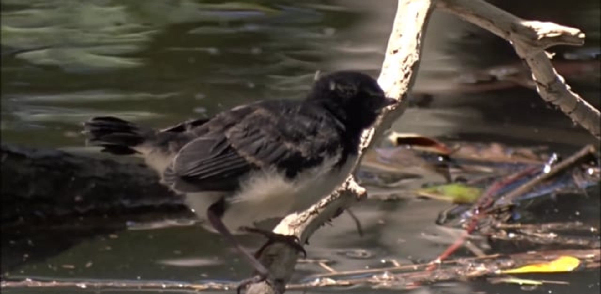 Willie Wagtail parents and chick