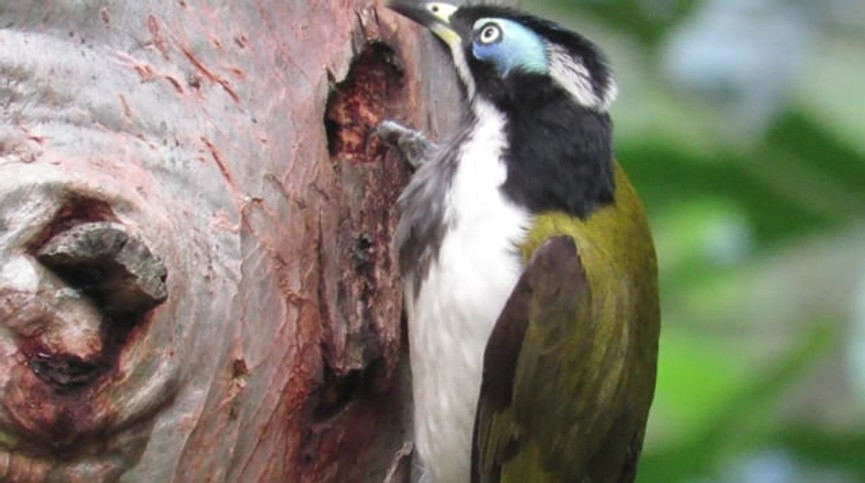 Adult Blue-faced Honeyeater anting on a tree