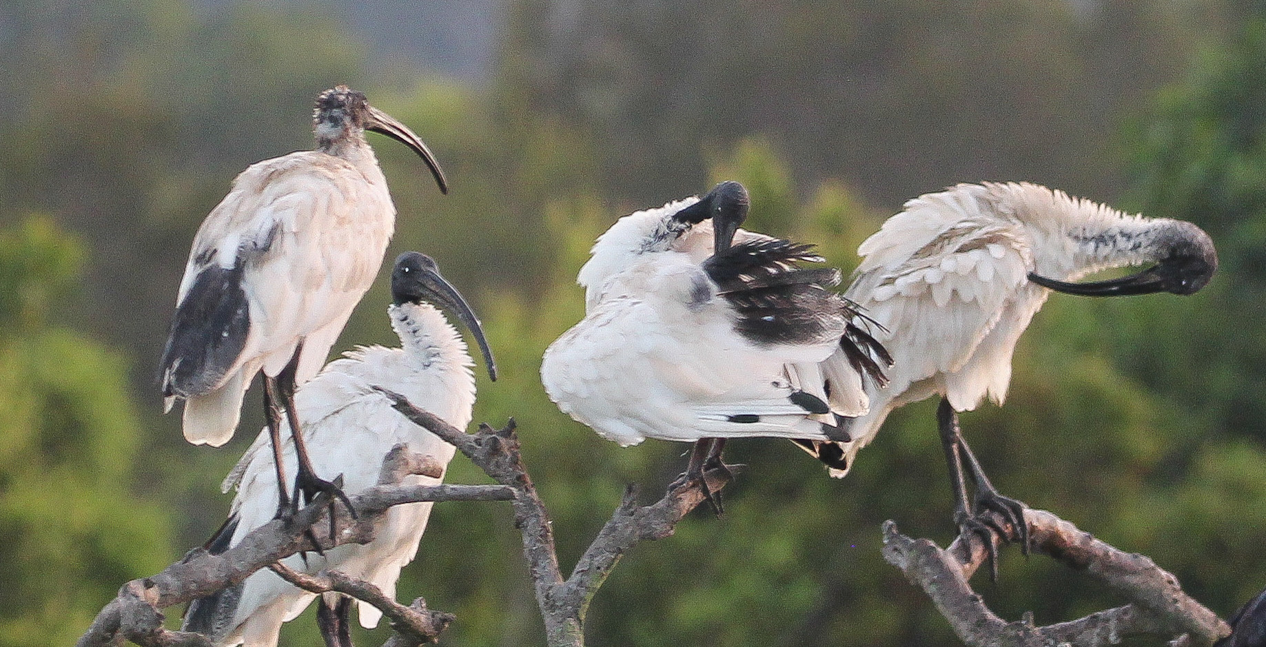 Australian White Ibis preening