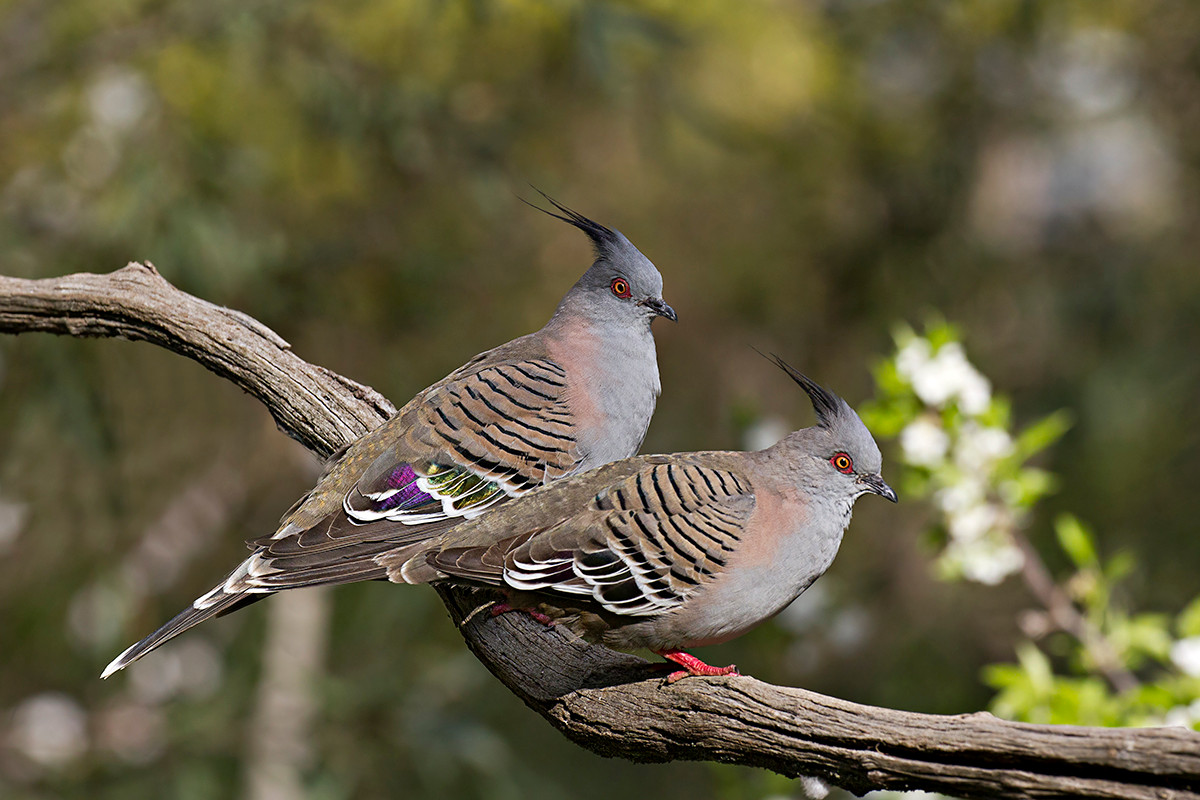 Pair of Crested Pigeons