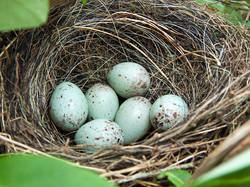 Bullfinch Nest