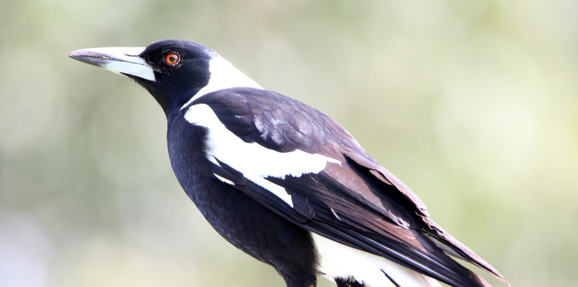 Adult male Australian Magpie
