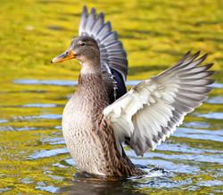 A Mallard duck displays its wing feathers in a pond in Bushy Park, Dublin.