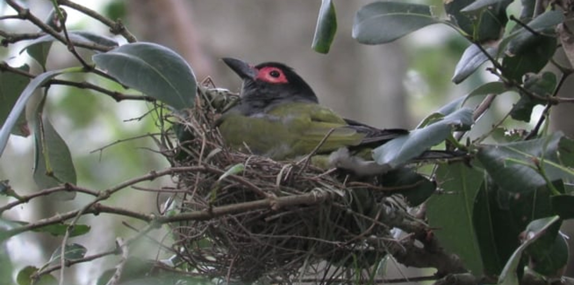 Adult male Australasian Figbird sitting on nest and calling