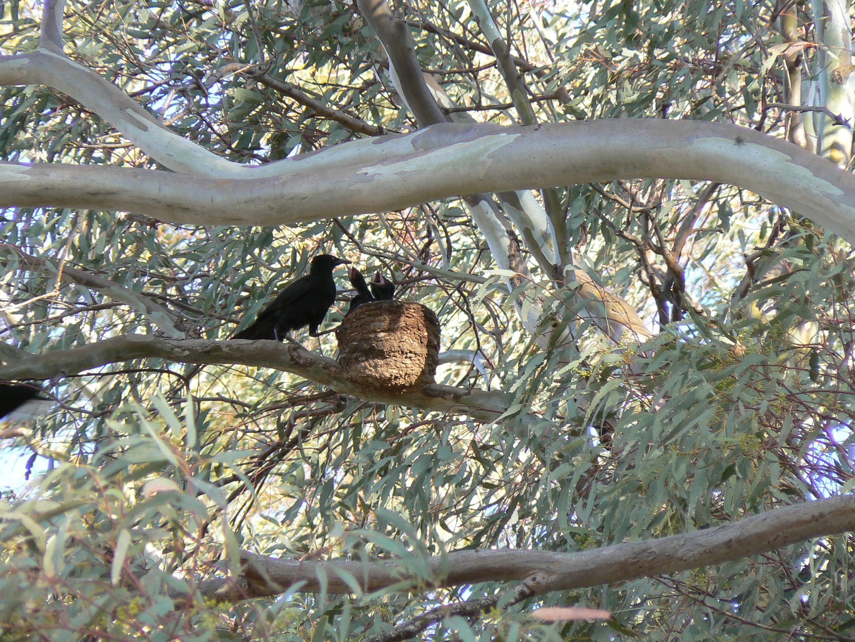 Chough at nest, Burra Creek, South Australia
