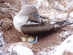 Sula nebouxii (blue-footed booby) nesting on North Seymour Island