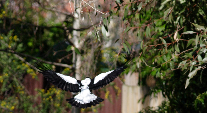 Magpie swooping a cyclist