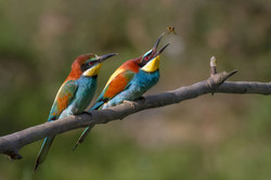 European Bee-eater Merops apiaster, Ariège, France. The female (in front) awaits the offering which