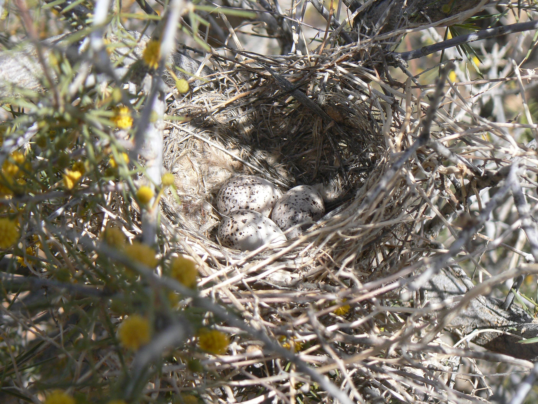 Chat nest, Muloorina