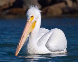 American White Pelican (Pelecanus erythrorhynchos ) (bird) in Morro Bay, CA, Embarcadero Tidelands P