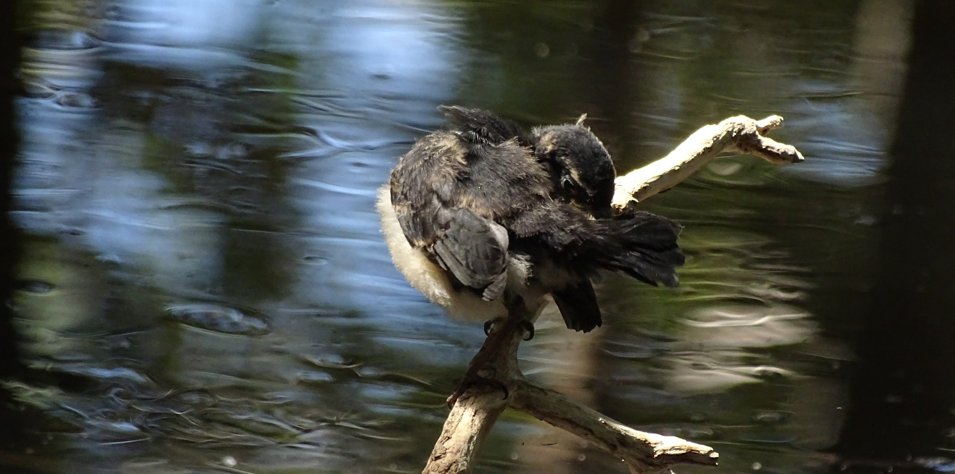 Juvenile Willie Wagtail preening (first day out of the nest)