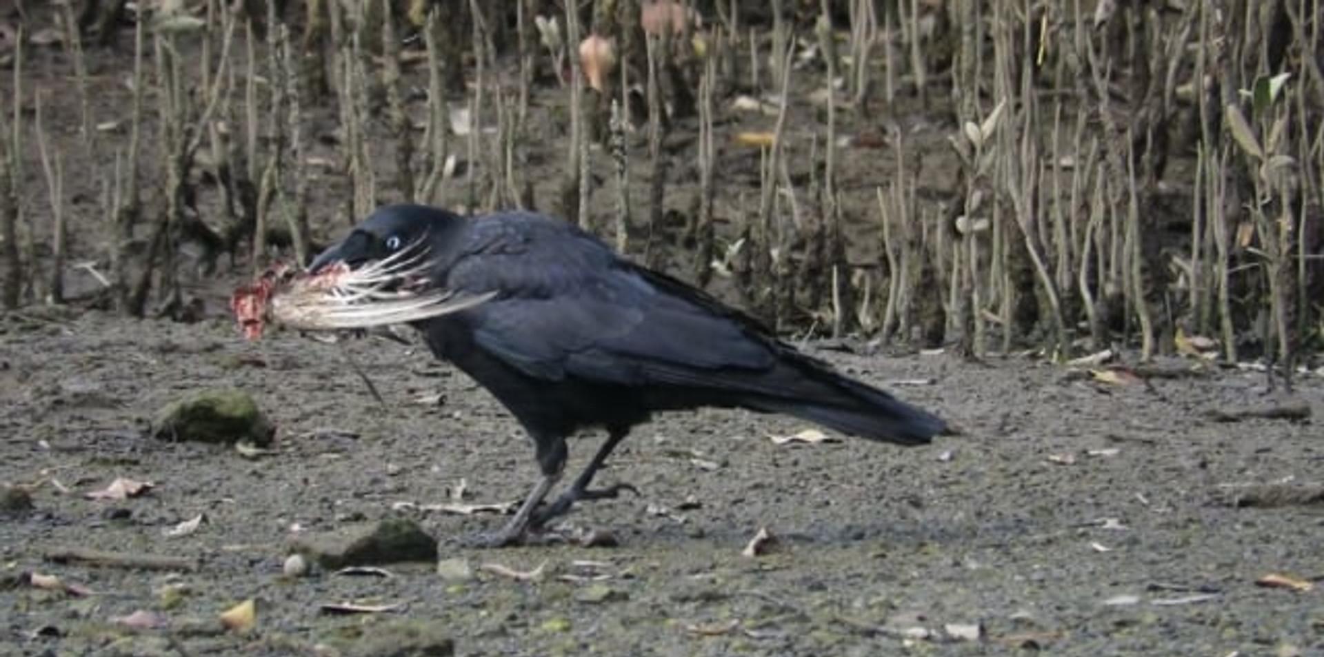 Adult Torresian Crow feeding