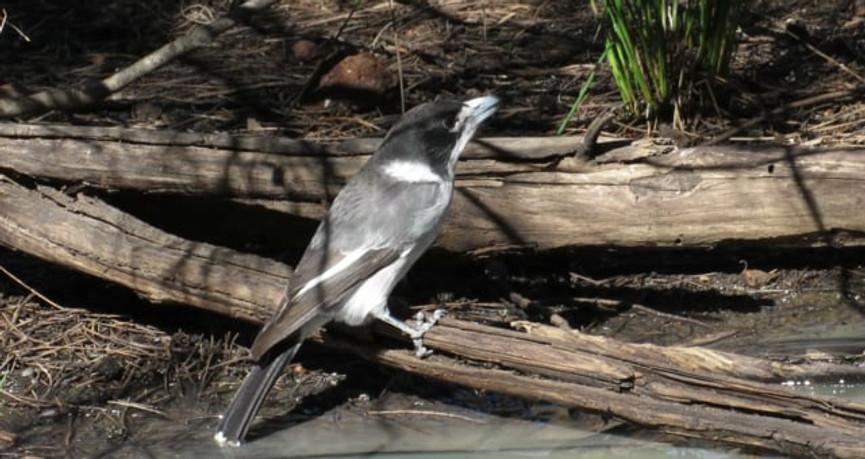 Adult Grey Butcherbird