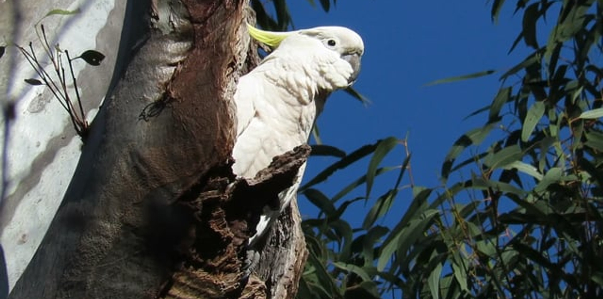 Sulphur-crested Cockatoo at nesting hollow