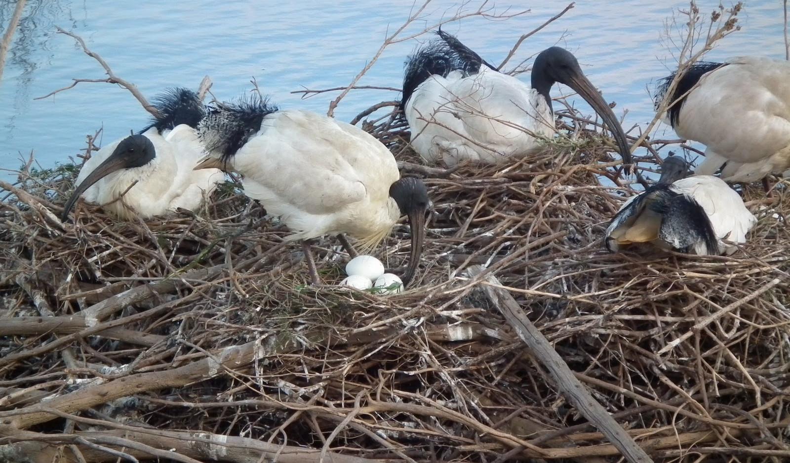 Australian White Ibis nest
