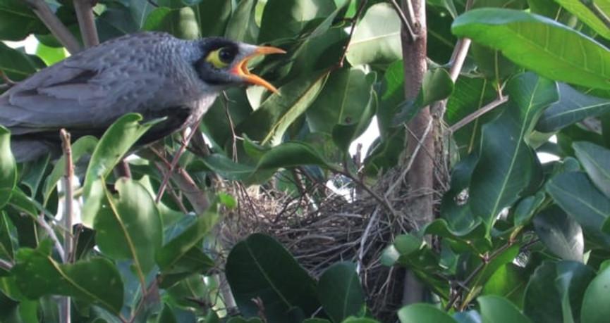 Noisy Miner parents attending chicks in the nest