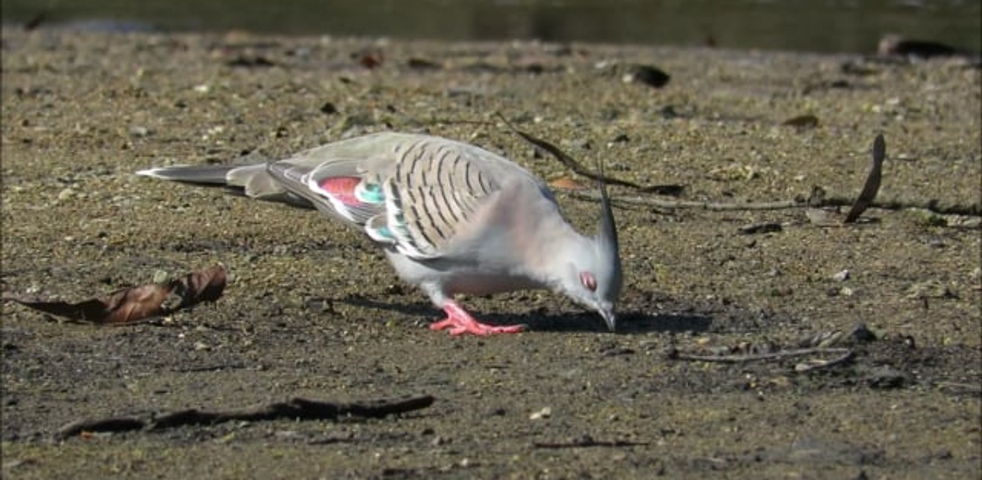 Crested Pigeon foraging