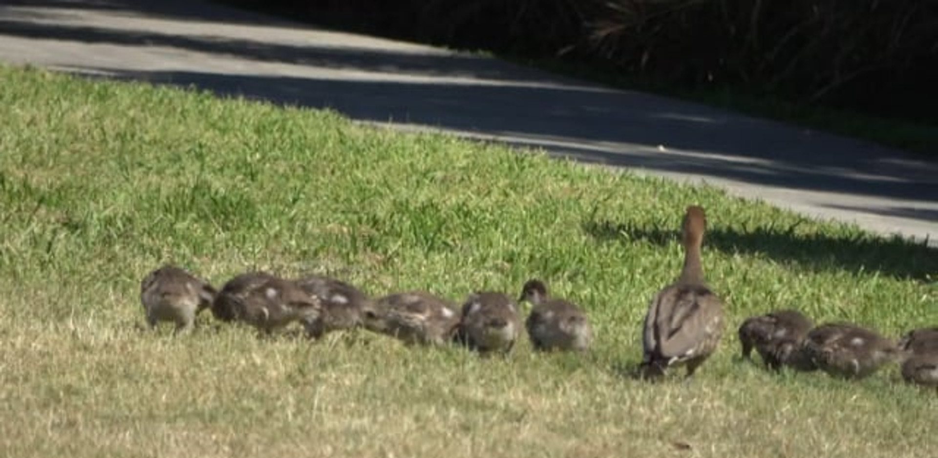 Australian Wood Duck and ducklings