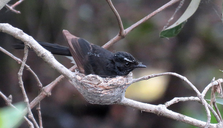 Adult Willie Wagtail sitting on nest