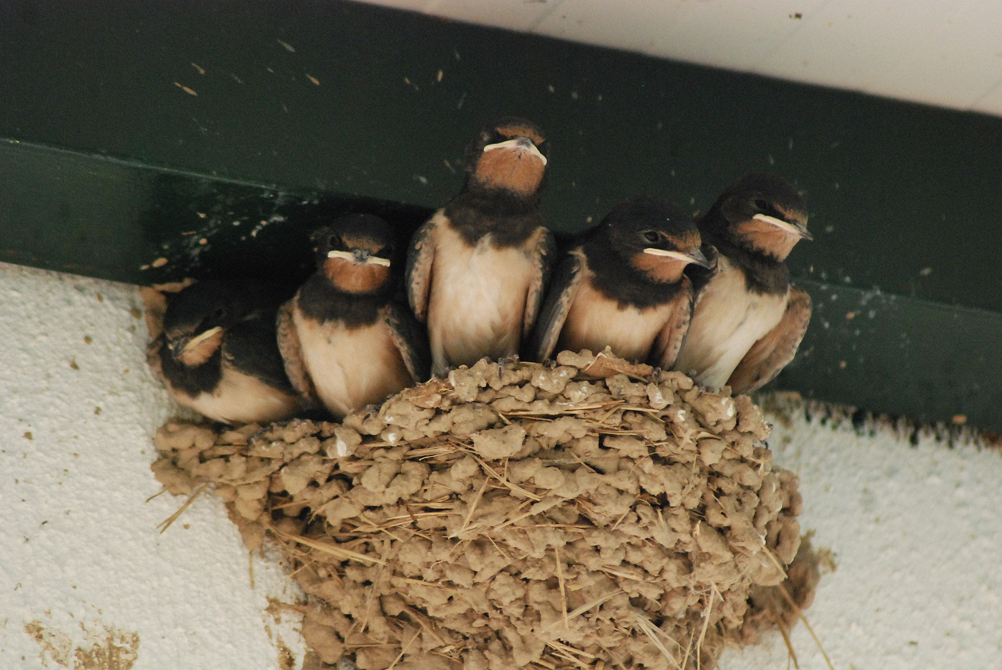 Young but almost grown-up swallows that haven't tried flying yet, waiting to be fed.
