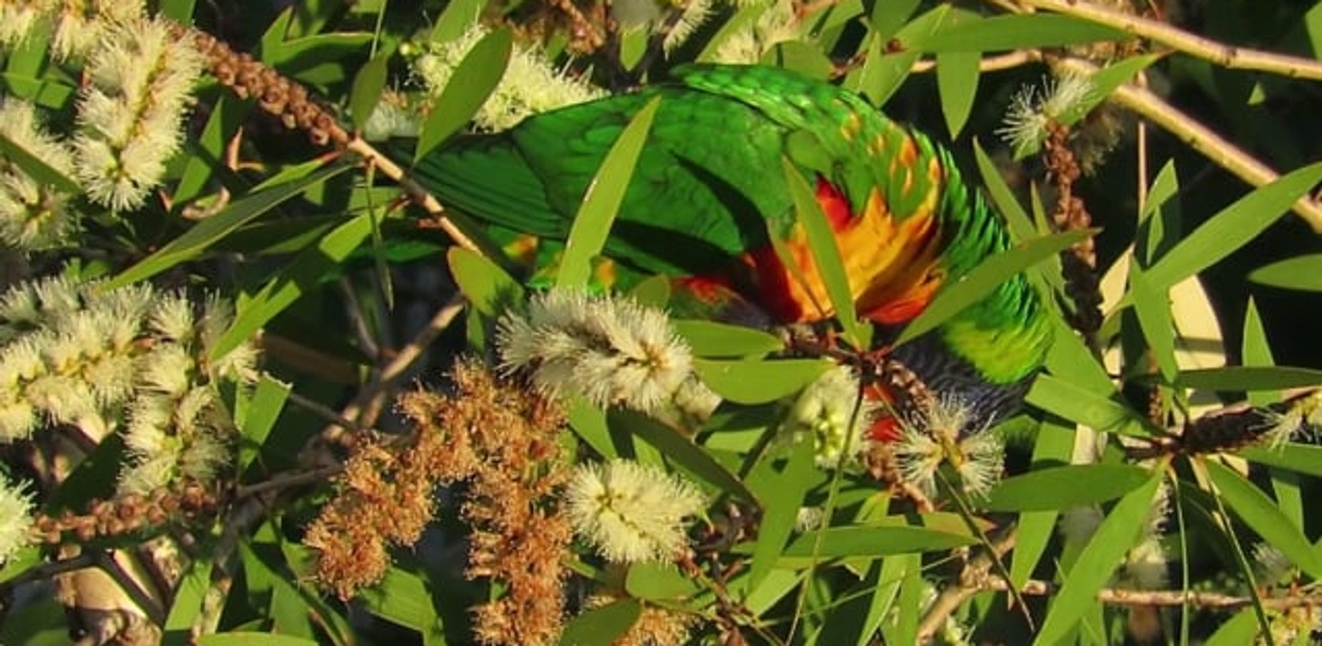 Rainbow Lorikeet feeding